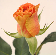 MARIANA Orange roses, long stem florist orange roses now available at wholesale basis for your florist shop in USA and Canada... Orange France roses, Miracle orange roses, Coral Sea orange roses, Sombrero orange roses,... Rose Connection Inc. Los Angeles California offers the most fresh and premium orange flowers in USA and Canada, wholesale roses to florist shop at wholesale prices Fedex Free delivery included