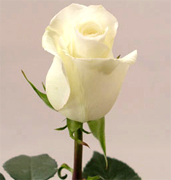 ANASTASIA WHITE ROSES Wholesale white premium roses VIP white roses long stem, long vase life for your special occasion... Special package for wedding, bridal bouquets, receptions,... Blizzard white roses, Anastasia white roses, Akito white roses, Tineke roses... Rose Connection Inc. Los Angeles California offers the most fresh white flowers in USA and Canada, wholesale roses to florist shop at wholesale prices Fedex Free delivery included
